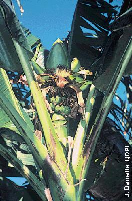 Example of Australimusa section: Musa jackeyi